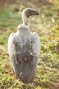 A white backed vulture waits to scavange on a nearby kill, in the Cottars Conservancy, Kenya