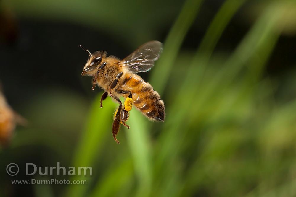 A western honeybee (Apis mellifera) in flight. © Michael Durham / www.DurmPhoto.com
