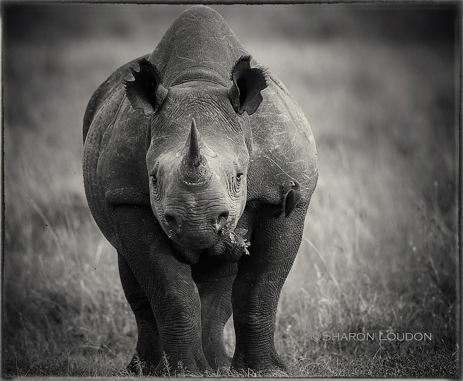 Black rhino cow, Massai Mara, Kenya