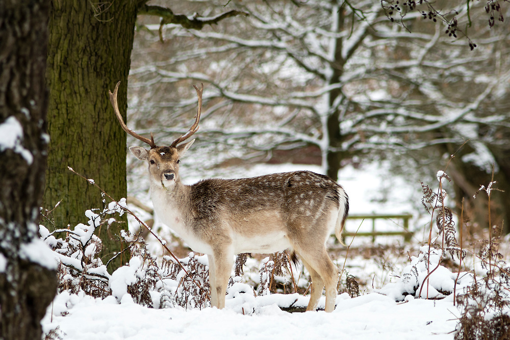 Fallow stag deer at a snowy Bradgate Park.
