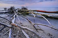 Driftwood at Møns Klint, Denmark