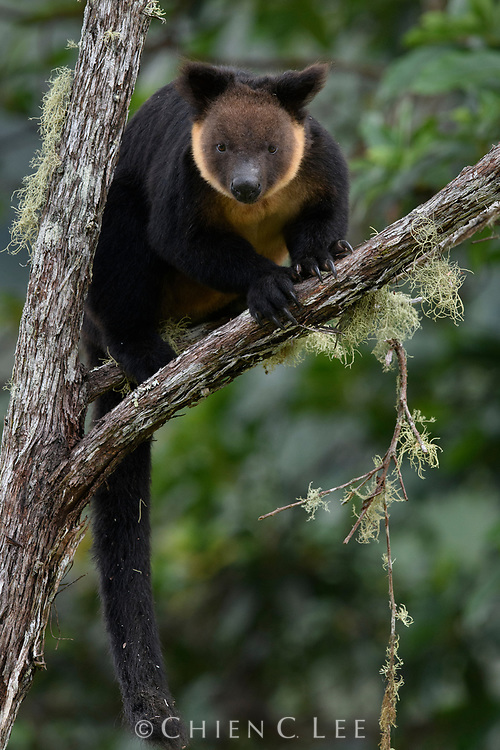 Endemic to the Bird's Head Peninsula of western New Guinea, the Vogelkop Tree Kangaroo (Dendrolagus ursinus) has become increasingly threatened by habitat loss and hunting. West Papua, Indonesia (New Guinea).