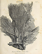 Gorgonia flabellum, also known as the Venus fan Copperplate engraving From the Encyclopaedia Londinensis or, Universal dictionary of arts, sciences, and literature; Volume VIII;  Edited by Wilkes, John. Published in London in 1810.