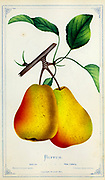 Buffum Pears from Dewey's Pocket Series ' The nurseryman's pocket specimen book : colored from nature : fruits, flowers, ornamental trees, shrubs, roses, &c by Dewey, D. M. (Dellon Marcus), 1819-1889, publisher; Mason, S.F Published in Rochester, NY by D.M. Dewey in 1872