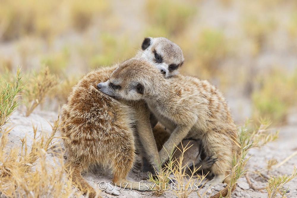 Meerkat<br /> Suricata suricatta<br /> Adults grooming<br /> Makgadikgadi Pans, Botswana