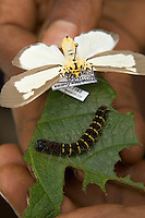 Moth and caterpillar of the same species on its host plant leaf.