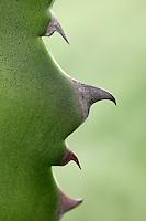03/Noviembre/2012 Buger (Islas Baleares)..Detalle de agave americana...© JOAN COSTA