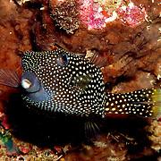Spotted Boxfish inhabit reefs. Picture taken Raja Ampat, Indonesia.