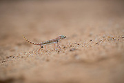 Stenodactylus doriae, commonly known as the Middle Eastern short-fingered gecko or Doria's comb-fingered gecko, is a species of lizard in the family Gekkonidae. Photographed in Israel in January