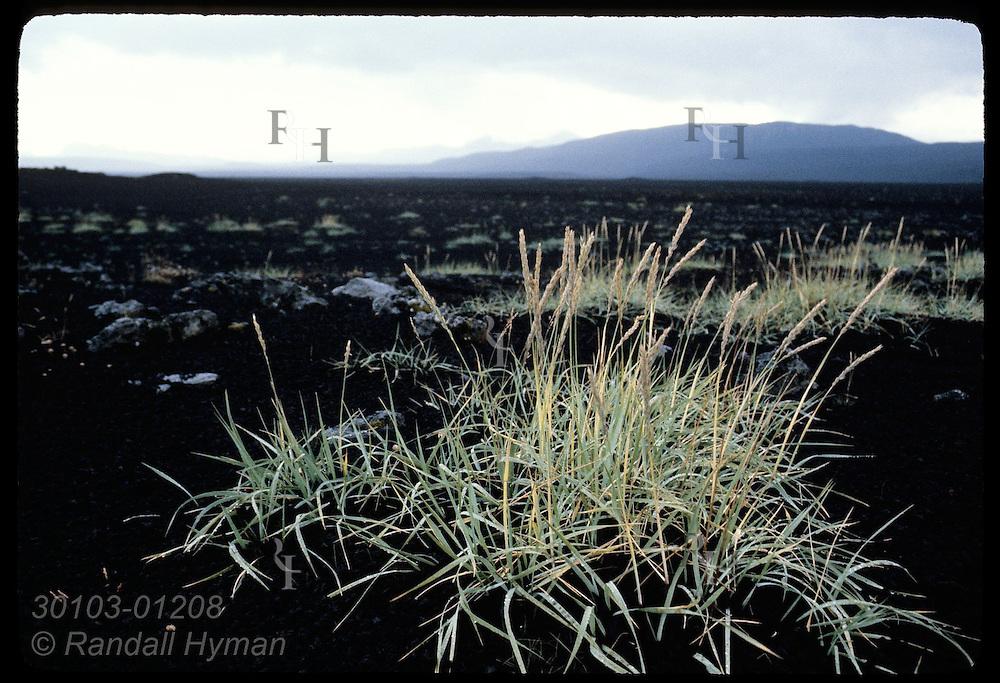 Pasture's tallest grasses poke thru deadly blanket of cinder the day after 1980 Hekla eruption. Iceland