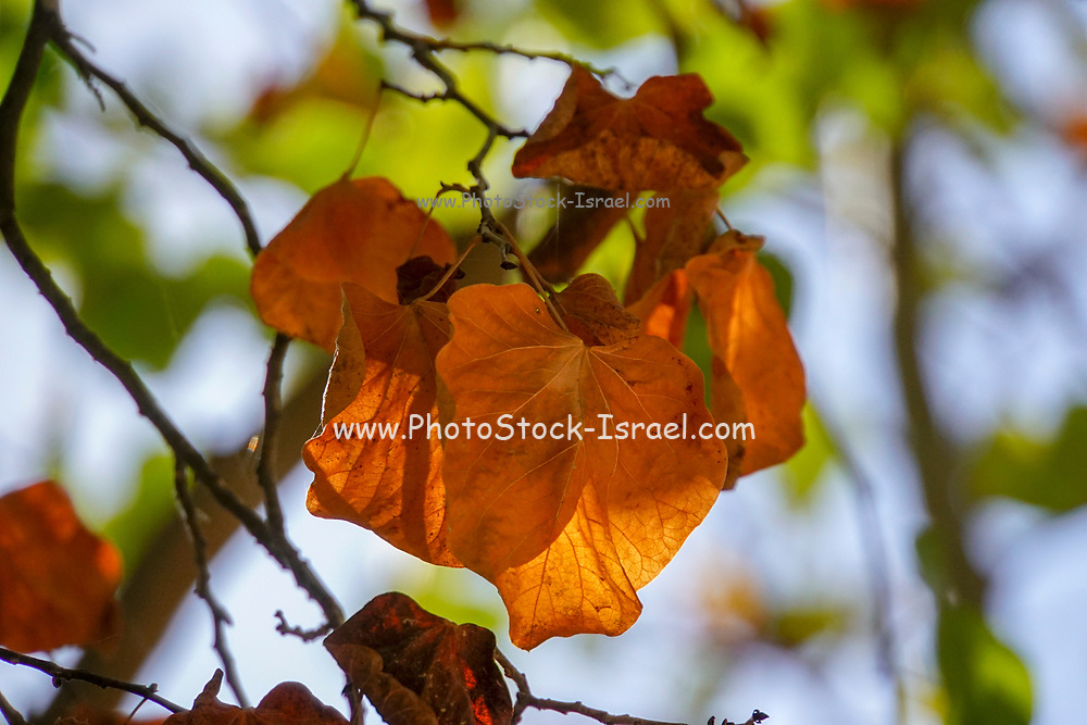 Autumn colours Orange leaves on a tree in a forest