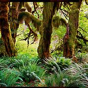 Moss on Maples, Olympic National Park. 4x5 Kodak Ektar 100. <br /> photo by Nathan Lambrecht