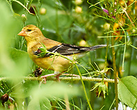 American Goldfinch. Image taken with a Nikon 1 V3 camera and 70-300 mm VR lens.