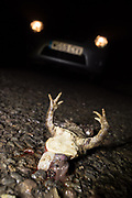 Common toad (Bufo bufo) killed on road at night during spring migration. Sussex, UK.