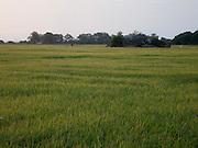 Sri Lanka, Ampara District, Pottuvil Rice fields