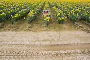 "A ""No Trespassing"" sign stands guard at a daffodil field in Skagit Valley, Washington in an attempt to discourage tourists from walking among the flowers. Skagit Valley is a fertile agricultural region known for its daffodil and tulip farms."