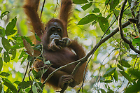 Bornean Orangutan <br /> Wurmbii Sub-species<br /> (Pongo pygmaeus wurmbii)<br /> <br /> Adult female Walimah tending her severely injured foot.<br /> <br /> Gunung Palung Orangutan Project<br /> Cabang Panti Research Station<br /> Gunung Palung National Park<br /> West Kalimantan Province<br /> Island of Borneo<br /> Indonesia