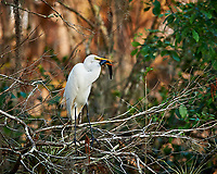 Great Egret perched on a branch with a catfish in Big Cypress Swamp. Image taken with a Nikon Df camera and 400 mm f2.8 lens (ISO 800, 400 mm, f/4, 1/500 sec).