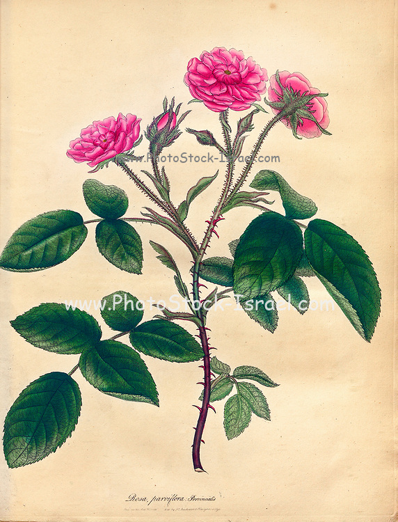 ROSA parviflora, Provincialis. Small-flowered Province or Blandford Rose From the book Roses, or, A monograph of the genus Rosa : containing coloured figures of all the known species and beautiful varieties, drawn, engraved, described, and coloured, from living plants. by Andrews, Henry Charles, Published in London : printed by R. Taylor and Co. ; 1805.