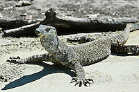 Lizard on the sand warming itself in the sun. Wildlife and nature photography prints, wall art and stock images.