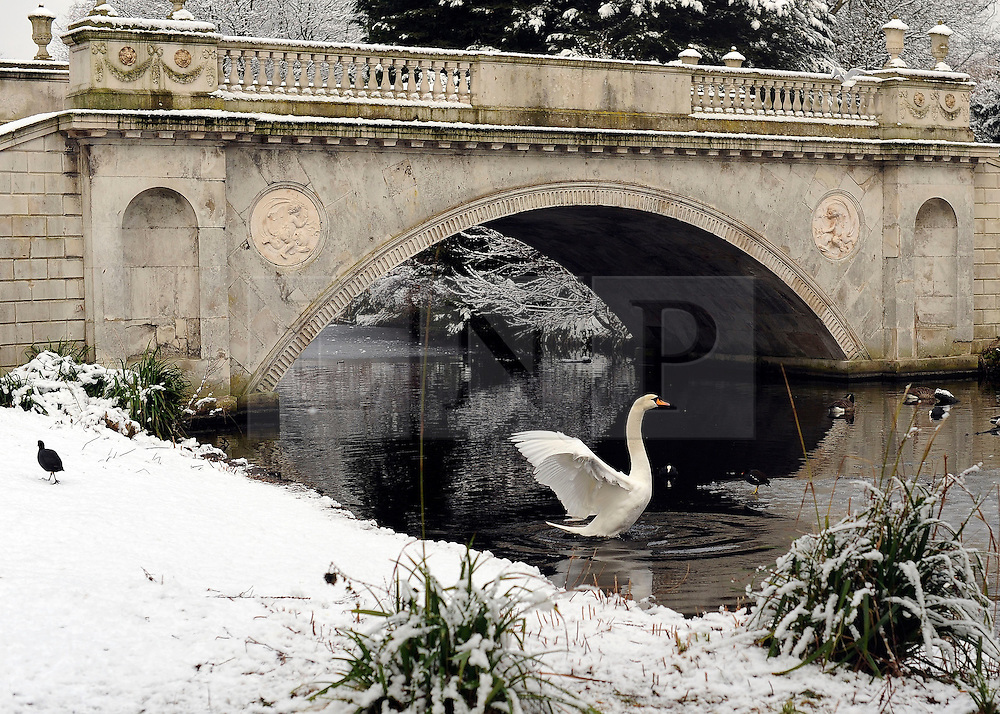 © Licensed to London News Pictures. 10/02/2012, London, UK. A swan stretches its wings in front of The Classic Bridge built for the 5th Duke of Devonshire.. People enjoy the snow in the grounds of Chiswick House in West London today 10 February 2012. Chiswick House, undergoing restoration,  is the first and one of the finest examples of neo-Palladian design in England.  Inspired by the architecture of ancient Rome and 16th Century Italy, the third Earl of Burlington built the house as a homage to Renaissance architect Palladio.The cold weather across the UK is set to continue over the weekend.  Photo credit : Stephen Simpson/LNP