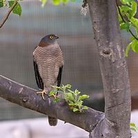 Collared Sparrowhawk - Victoria - Australia