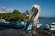 Brown pelican (Pelecanus occidentalis)<br /> Fish Market<br /> Puerto Ayora, Santa Cruz Island<br /> GALAPAGOS ISLANDS<br /> ECUADOR.  South America