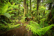 Landscape with lush foliage with green ferns and footpath along Routeburn Track between Lake Mackenzie to Divide Shelter, South Island, New Zealand