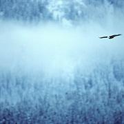 Bald Eagle, (Haliaeetus leucocephalus) Lone bird flying near Chilkat Mountain Range, Alaska.