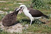 Laysan albatross, Phoebastria immutabilis, regurgitating to feed chick, Sand Island, Midway Atoll, Midway National Wildlife Refuge, Papahanaumokuakea Marine National Monument, Northwest Hawaiian Islands, USA ( North Pacific Ocean )