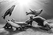 Rare and endangered Australian Sea Lions (Neophoca cinerea) swim and play  in the shallows of Hopkins Island, South Australia. Endangered. IUCN Red List. Camera equipment: Nikon D700, Nikon 16mm lens, Aquatica camera housing, two Inon 220 underwater strobes. 1/250 @ f13, ISO 640 Image available as a premium quality aluminum print ready to hang.