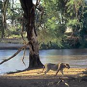 African Lion, (Panthera leo) Female walking along bank of Mara River. Masai Mara Game Reserve. Kenya. Africa.
