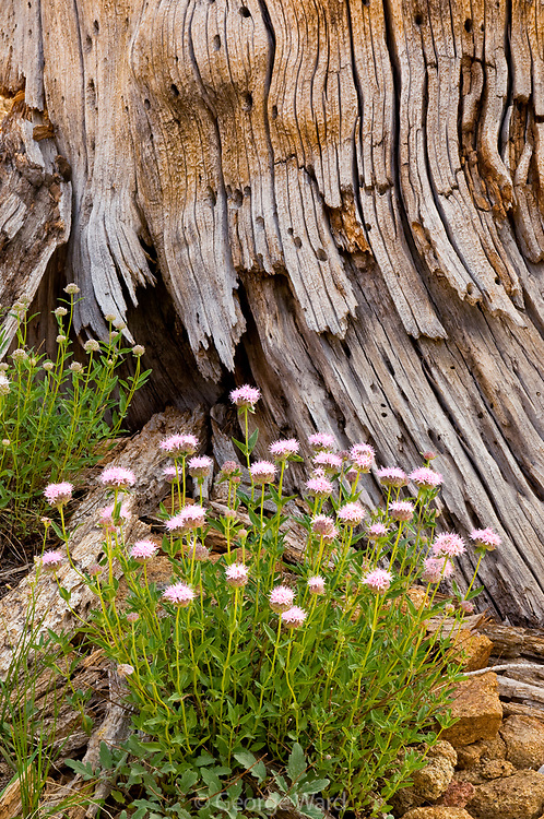 Coyote Mint and Weathered Sugar Pine Snag,<br /> Carson-Iceberg Wilderness, Stanislaus National Forest, California