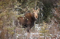 An adult moose on the loose near West Bragg Creek.<br /> <br /> ©2019, Sean Phillips<br /> http://www.RiverwoodPhotography.com