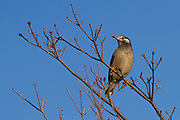 A Grey Starling or White-heeked Starling (Spodiopsar cineraceus) in a tree in a park near Yamato, Kanagawa, Japan. Thursday January 30th 2020