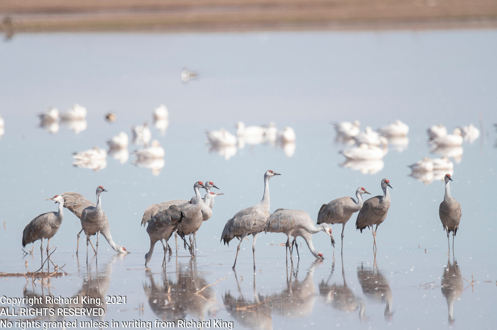 Photograph of Sandhill Cranes from Whitwewater Draw Wildlife Area, AZ