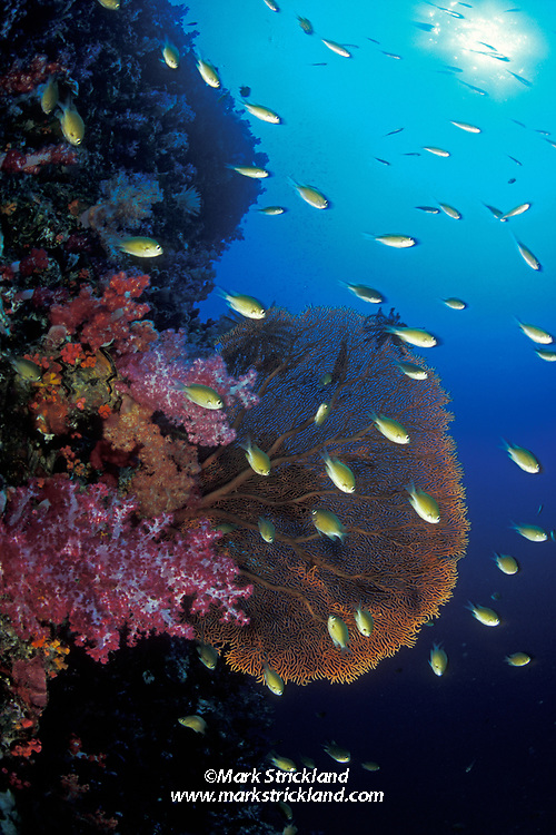 A school of damselfish hover near soft and fan corals on a vertical wall.  Western Rocky Island, Mergui Archipelago, Burma, Andaman Sea