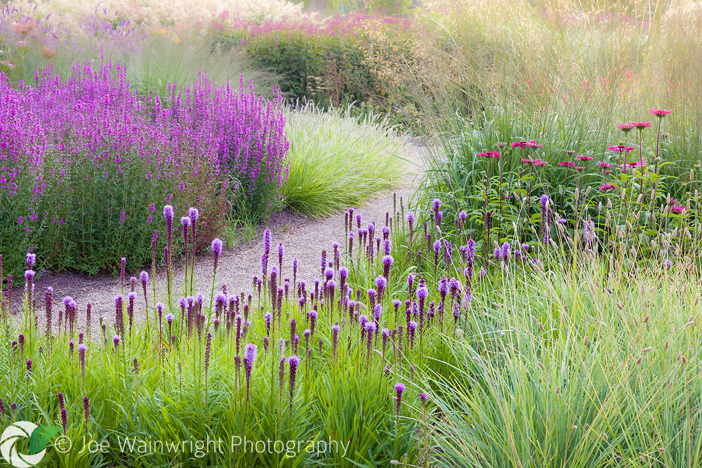 Grasses mingle with Liatris and Lythrums in the Floral Labyrinth at Trentham Gardens, Staffordshire, designed by Piet Oudolf. Photographed just after dawn in summer