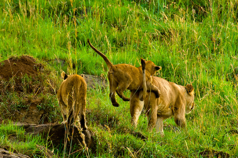 Lioness and her cubs, Masai Mara National Reserve, Kenya