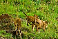Lioness and her cubs, Masai Mara National Reserve, Kenya