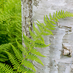 Ferns next to a paper birch tree (Betula papyrifera) in the Reed Plantation in Reed, Maine,