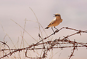 Isabelline wheatear on barbed wire. Isabelline wheatears (Oenanthe isabellina) are a migratory insectivorous birds. They breed in southern Russia and central Asia to Northern Pakistan, wintering in Africa and India. Photographed in Israel, in September.