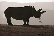 """(1992) The white rhino """"Dinka"""" at the San Diego Wild Animal Park, San Diego, CA. White rhinos were proven to be a separate species by DNA fingerprinting."""