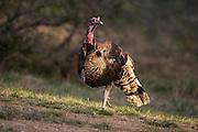 Merriam's Turkey gobbler during spring in Wyoming