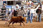 November 2, 2008 -- PHOENIX, AZ: Steer wrestling at the Arizona High School Rodeo at the Arizona State Fair in Phoenix. In steer wrestling the competitor jumps from his horse to a running steer and wrestles it to the ground. Teams from across the state participate. The Arizona High School Rodeo Association sponsors a full season of high school rodeo that culminate in a championship rodeo in June.  Photo by Jack Kurtz / ZUMA Press