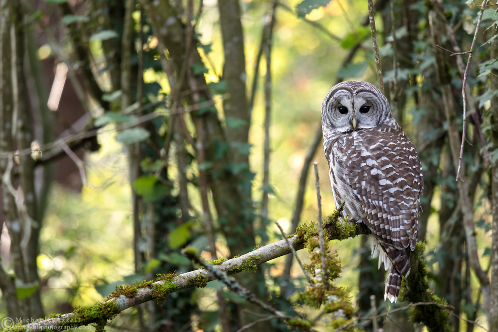 A Barred Owl (Strix varia) perches in a Fraser Valley backyard forest.  While I photographed this Barred Owl it was harassed by Northwestern Crows, Steller's Jays, and an Annas Hummingbird.