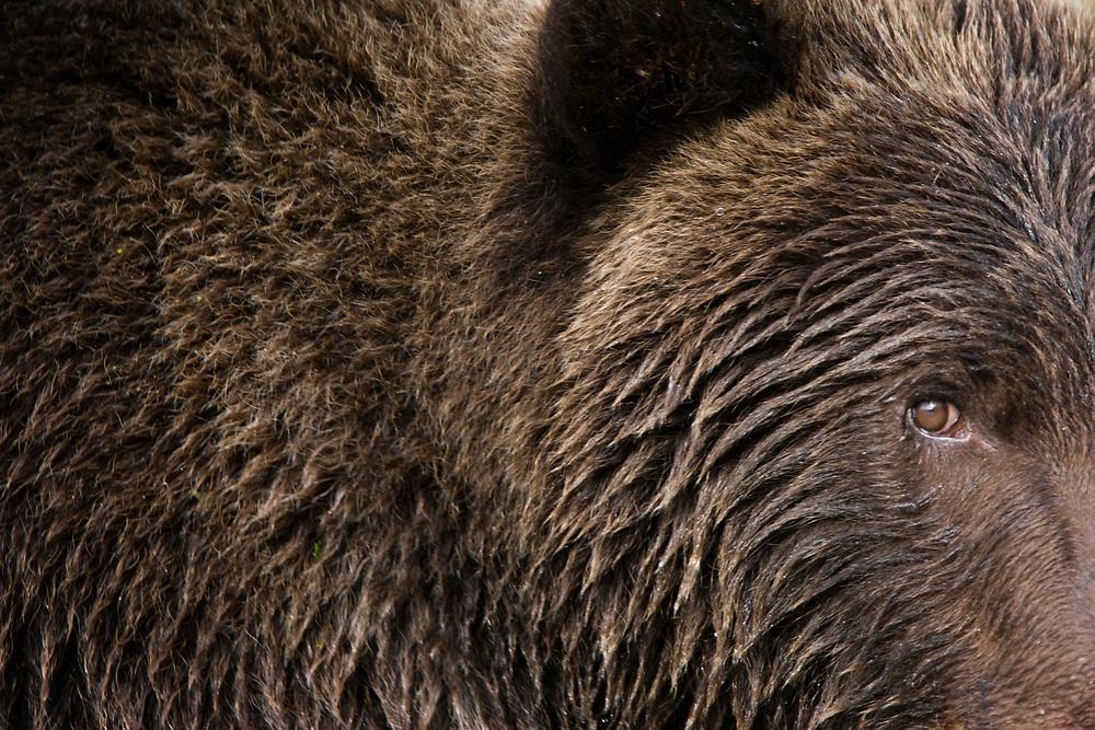 USA, Alaska, Katmai National Park, Geographic Harbor, Close-up of Brown Bear (Ursus arctos) second-year cub walking along stream