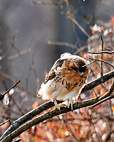 Red-tailed Hawk (Buteo jamaicensis. Image taken with a Nikon D3x camera and 600 mm f/4 VR lens.