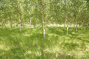 trees planted in rows during spring time