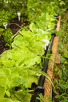 Butter lettuce grows along the edge of a raised be in an organic garden.